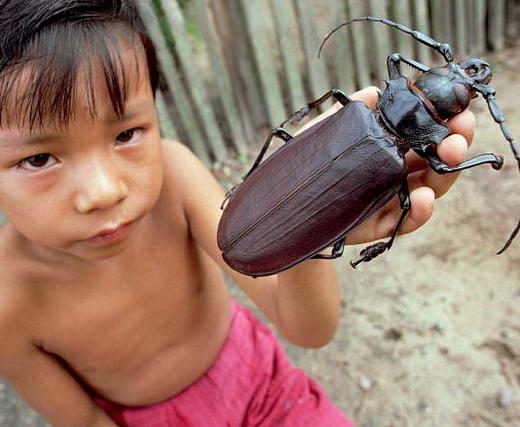 15 Serangga Terbesar di Dunia: Kumbang Titan