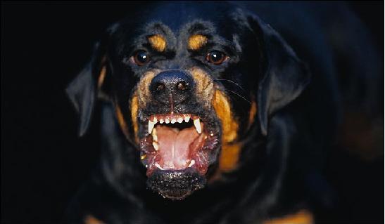 Angry_Rottweiler_Named_Jesus.jpg