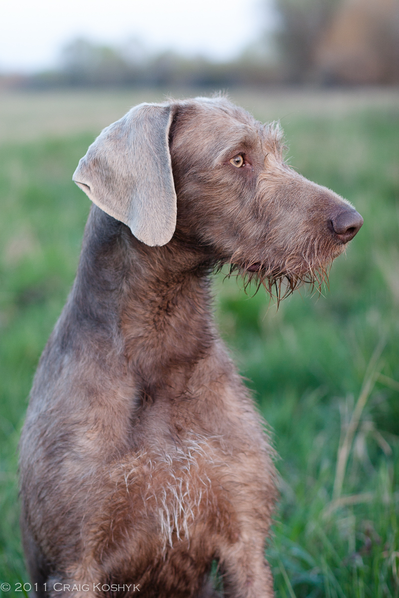 Pointing Dog Blog: Breed of the Week: Slovakian Rough-Haired Pointer