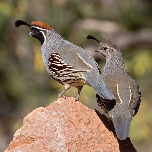 Of the quail s diet is thought to consist of plant matter the quail
