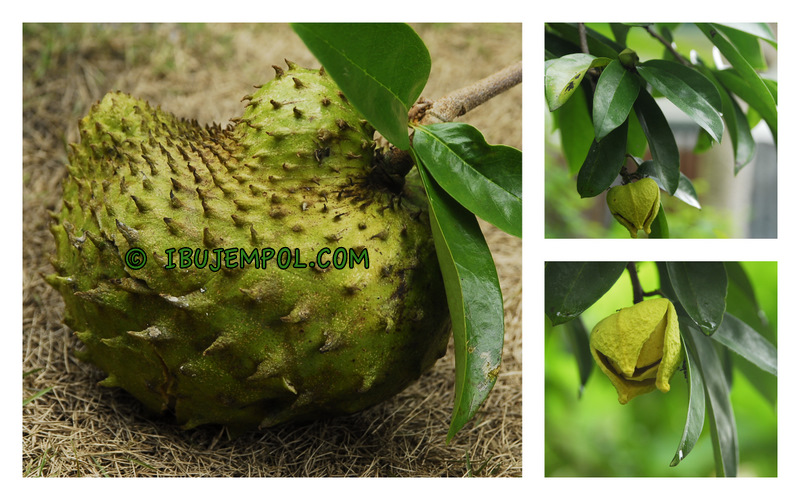 Soursop Fruit As a Cure For Cancer