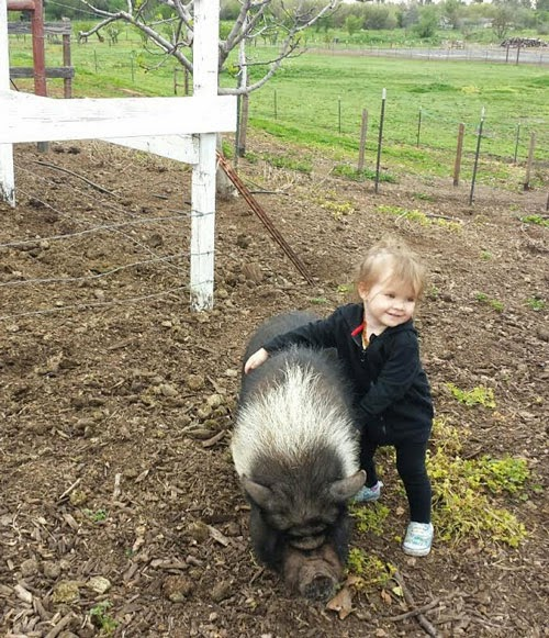 ….the pigs love the attention of our tours