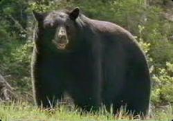 Black Bear (Beruang Hitam)