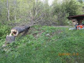 Järeätkin puut kaatuvat Stihl MS 441 C-M ja Stihl MS 261 C-M moottorisahoilla, apuna lompakkotalja