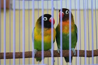 Love Bird Hijau Kepala Hitam ( DaKocan), Jual Love Bird Hijau Kepala Hitam Dakocan Pasangan Remaja, Burung LoveBird , Burung Cinta..