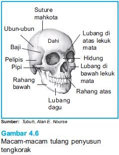 Kerangka Kepala Manusia