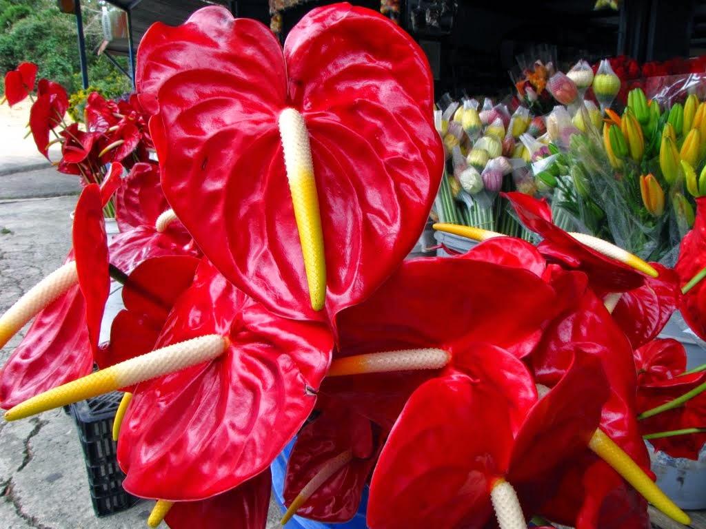 Plantas de regalo plantas para regalar en san valent n for Anturio cuidados