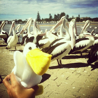 Instagram Pelican Feeding The Entrance
