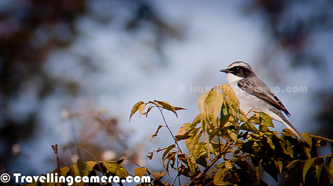 Winters in North are in full swing and this season also reminds us of time when birds from different parts of the world come to different wetlands of India. Bird migration is the regular seasonal movement of different types of birds along flyway between breeding and wintering grounds. Migration of these birds is a very interesting phenomenon wherein flight length & height of each bird is dependent on size & texture of wings. Accordingly different types of birds settle down in different wetlands which come on their way. This Photo Journey shares some photographs of Migratory Birds of North India and details on this phenomenon of Migration for a particular duration of year.North India has various wetlands where thousands and lacs of birds come during winters & go back to their native lands by March. This migration starts in the month of November with few exceptions.Migration timtings are primarily controlled by changes in day length, which is also associated with temperature in different parts of the country. Migrating birds navigate using celestial cues from the sun and stars, the earth's magnetic field and the winds favorable to their wings. The path, distance & final destination is derived by starting point, the air flow and power of wings to fly at a particular height against gravity. I was fortunate enough to attend a workshop on Bird Migration by National Conservation Team of Himachal State. Lot of migration happens because of genetic behaviors as well.Northern States of India see lot of Migratory Birds during Winters. Be is Himachal, Punjab, Harayana, Rajasthan, Jammu & Kashmir, Uttrakhand, Uttar Pradesh or Gujrat etc. There are various places around Delhi as well, where Migratory Birds can be seen. This season is very interesting for Photography enthusiasts to spend their weekends in better way.Okhala Bird Sactuary, Asola, Sultanpur, Bharatpur, Hauz Khas Village Lake and various other wetlands around Greater Noida, Gaziabad & Gurgaon offer nice landing stations of Migratory Birds. I not been to many of these locations and hope to visit few of them during this season. And when you are out in these wetlands, it's not only about migratory birds but you also see lot of resident birds having great time with these migratory species.While going out to meet these Birds, don't forget to take your camera & binoculars with appropriate lenses. Preferably you should have lens with more than 400mm. Image Stabilization is again a very useful thing when it comes to Bird photography. While shooting photographs of birds, ensure that you target to click photographs in direct sunlight. It helps getting faster shutter-speed and hence good opportunities to capture birds in action.Having a mono-pod handy with you can be very useful. Basically you may want to wait for right time to click a particular bird and hence keeping hands still can be biggest challenge, Carrying a Tripod can be tiresome, so mono-pod becomes better option. And while around birds, make sure that you don't do lot of movement. And when it comes to dressing, prefer dull colored clothes, preferably black. And specifically avoid bright shaded clothes. You may want to set your camera is continuous mode so that you get sharp images of birds in action.If possible and you have high focal length lens try to focus on eyes of birds because most of the times viewers look at the eyes first and other advantage is that you get appropriate focus around important parts of bird-body.Photographs shared in this post are not good examples of Bird Photographs. Most of these are shot with very low focal-length point-n-shoot cameras and then cropped.During Bird Photography you will be able to appreciate auto-focus capabilities of your lenses in better way.Some of the birding places in various parts of Himachal Pradesh state are - Great Himalayan National Park, Kasauli, Dharamshala, Kangra, Majhat Harsang, Pong Dam and Manali. But whenever you are in other parts of Himachal Pradesh, make a point to have a walk early in morning and keep closer watch on sounds around you. Some of the popular destinations for birding in Harayana are considered -  Basai, Bhindawas, Bhor Saiyadan, Drain No 8    , Kalesar, Mohamedabad Marsh, Morni Hills, Naharh Santuary , Panipat Refinery, Sultanpur and West Yamuna Canal.Main places to explore for birding in rajasthan are - Bharatpur, Desert National Park, Sariska, Ranthambore, Sambhar Lake, Kota, Mt Abu, Samode and Bund BarethaUttrakhand has some of the very popular birding destinations - Corbett, Dehradun, Kedarnath, Nandadevi, New Forest, Rajaji, Pangot, Valley of Flowers, Upper Kuamon, Binsar, Asan Barrage, Sitlakhet and Kaladhungi. Gujrat has Little Rann, Hingolgadh, Narayan Sarovar, Gir and Wild Ass.When I started finding out appropriate details about places in delhi to see Migratory birds, I was surprised to find out some very interesting details. Delhi, the capital city of India as a birding venue has a remarkable number of interesting sites. In spite of the high population density, there is a surprising number of green open spaces in the city. There are various resident birds in the city and has some interesting summer visitors that move north out of the peninsula to breed before and during the summer monsoon. Winter visitors are far more than what we see in summers. Delhi is well positioned near Yamuna river.Okhala Bird Sanctuary around Yamuna river and its associated wetlands have the most productive places with a bird list of over 330 species. During peak time over 150 species in a day is easily possible. This region has huge duck and goose flocks of 15+ species including Bar-headed and Grey-lag Goose, Ruddy and Common Shelduck, Ferruginous Duck and Red-crested Pochard. More details can be checked at http://www.theurbanbirder.com/urban-birding/delhi/ Here we wish you a great Birding season