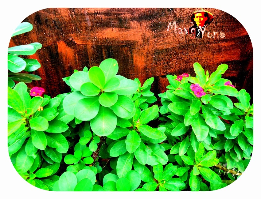 Cara Menanam Bunga Euphorbia