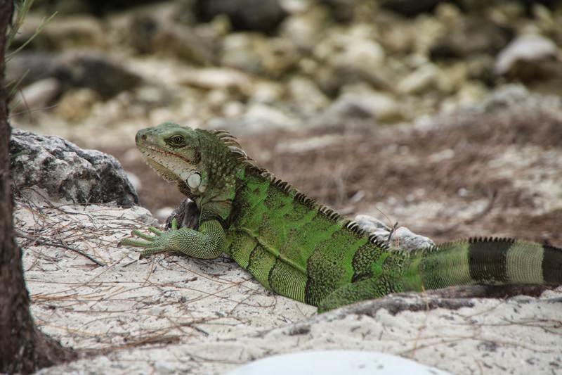 iguanas de playa, Coco cay, cayo Norman, Little Stirrup, islas Berry, playas del caribe, playas de Bahamas
