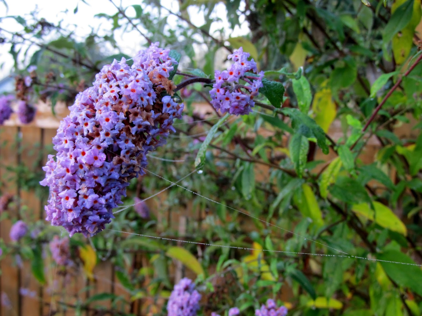 Petite Plum Dwarf Butterfly Bush