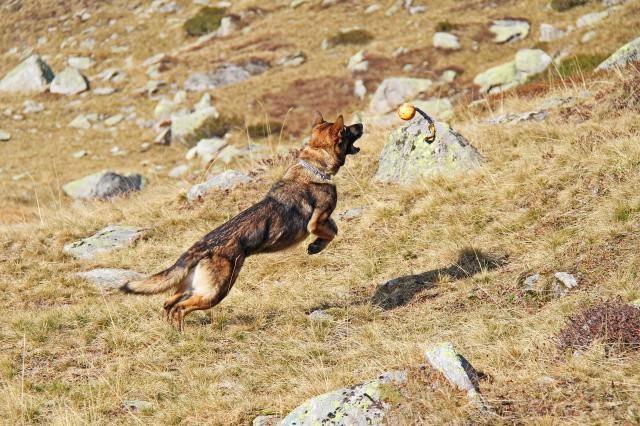 Aska, Deutscher Schäferhund
