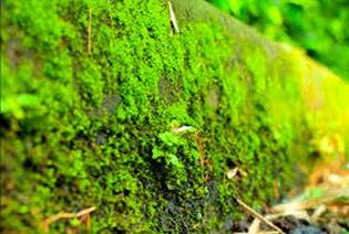 Ciri-Ciri Tumbuhan Lumut (Bryophyta)