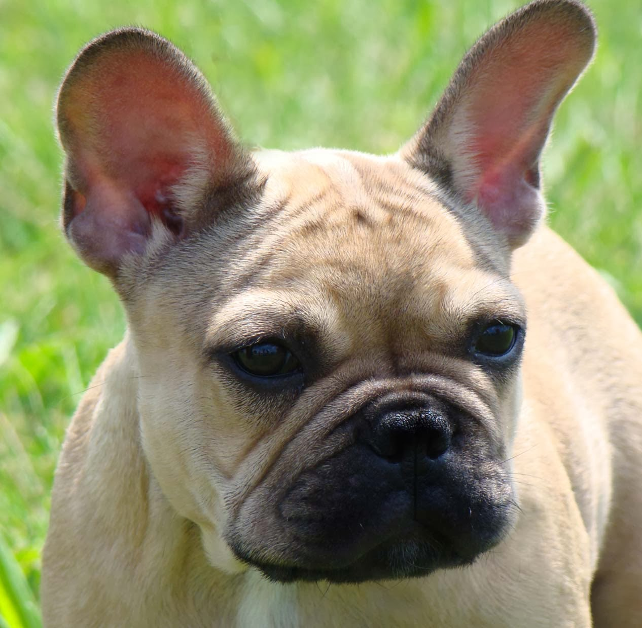 Happy birthday french bulldog fayme french bulldogs happy