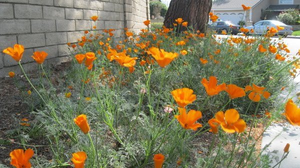 Greener designs how to care for california poppy eschscholzia the california poppy eschscholzia californica is the california state flower it is a beautiful bright spot that is starting to pop in the landscape mightylinksfo