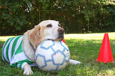 Retired guide Kit (yellow lab) wears a striped jersey and rests her head on a soccer ball.
