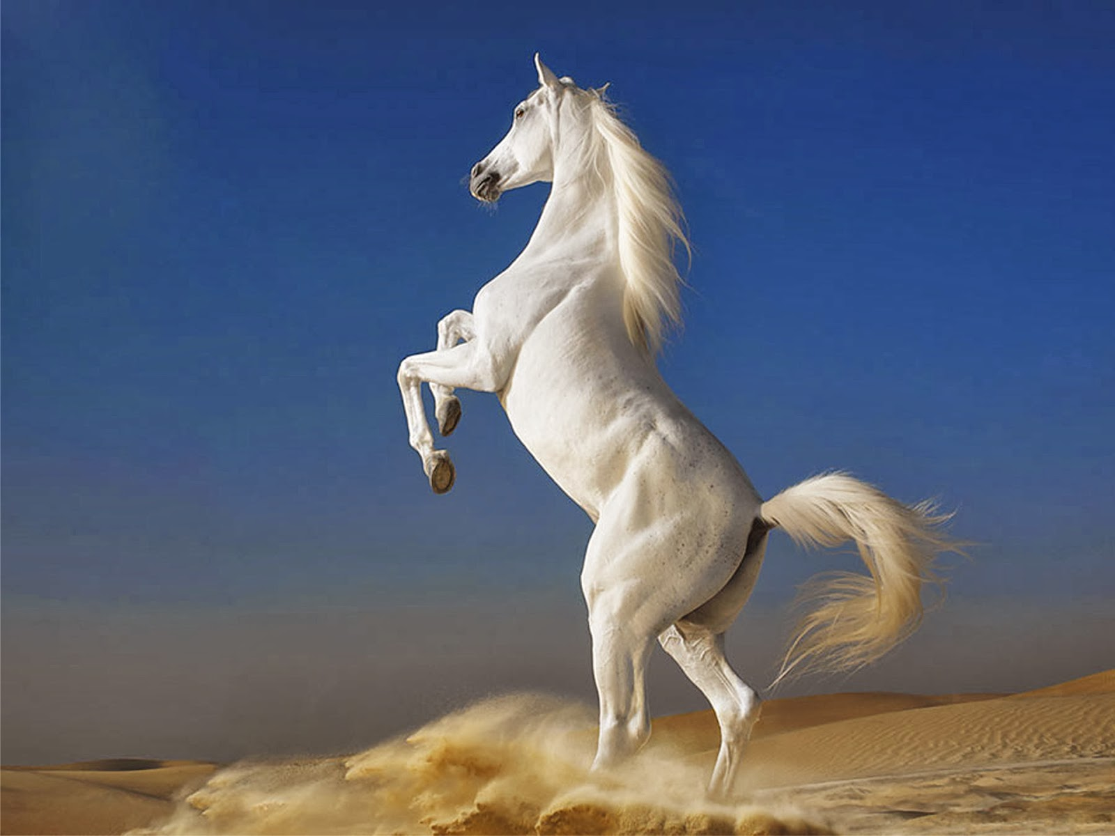 Beautiful Running White Horse Wallpapers White Horse Wallpapers