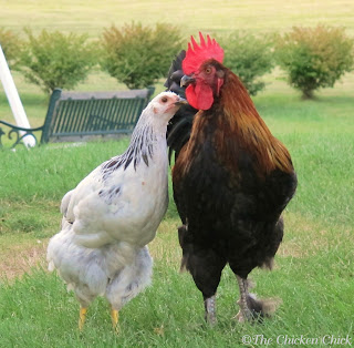Columbian Wyandotte hen & Black Copper Marans rooster