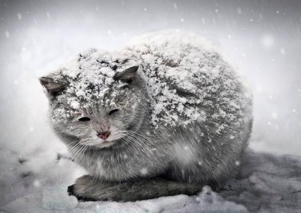 Кошка лежащая на снегу