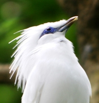Curik (Jalak) Bali (Starling): Leucopsar rothschildi, now increasingly rare endemic bird