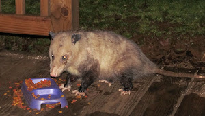 Possum on the Porch