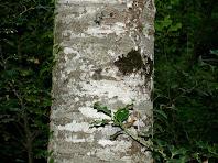 L'escorça del faig és grisa, més aviat clara, i a vegades amb unes bandes horitzontals blanquinoses