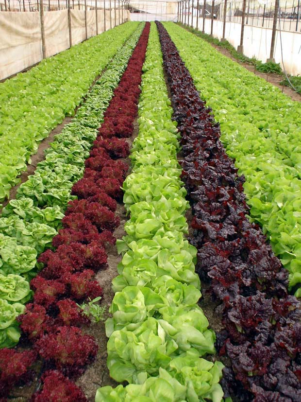 Megainvernaderos invernaderos Plantas de invernadero