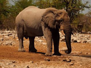 Elefante namibio