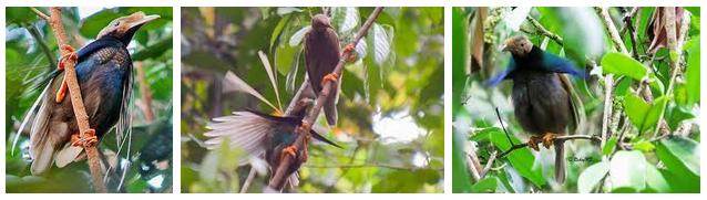 Kawasan Pengamatan Burung Bidadari (Wallace's Standardwing) - Wisata Halmahera Barat