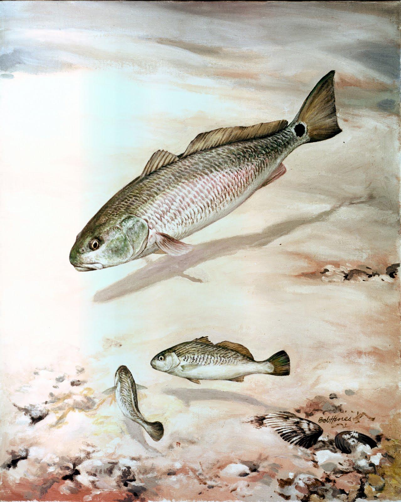 Fish index red drum sciaenops ocellatus for Bass fishing north carolina