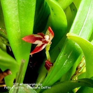 Panmorphia sp, Anathallis sp