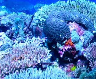 blue coral gili meno