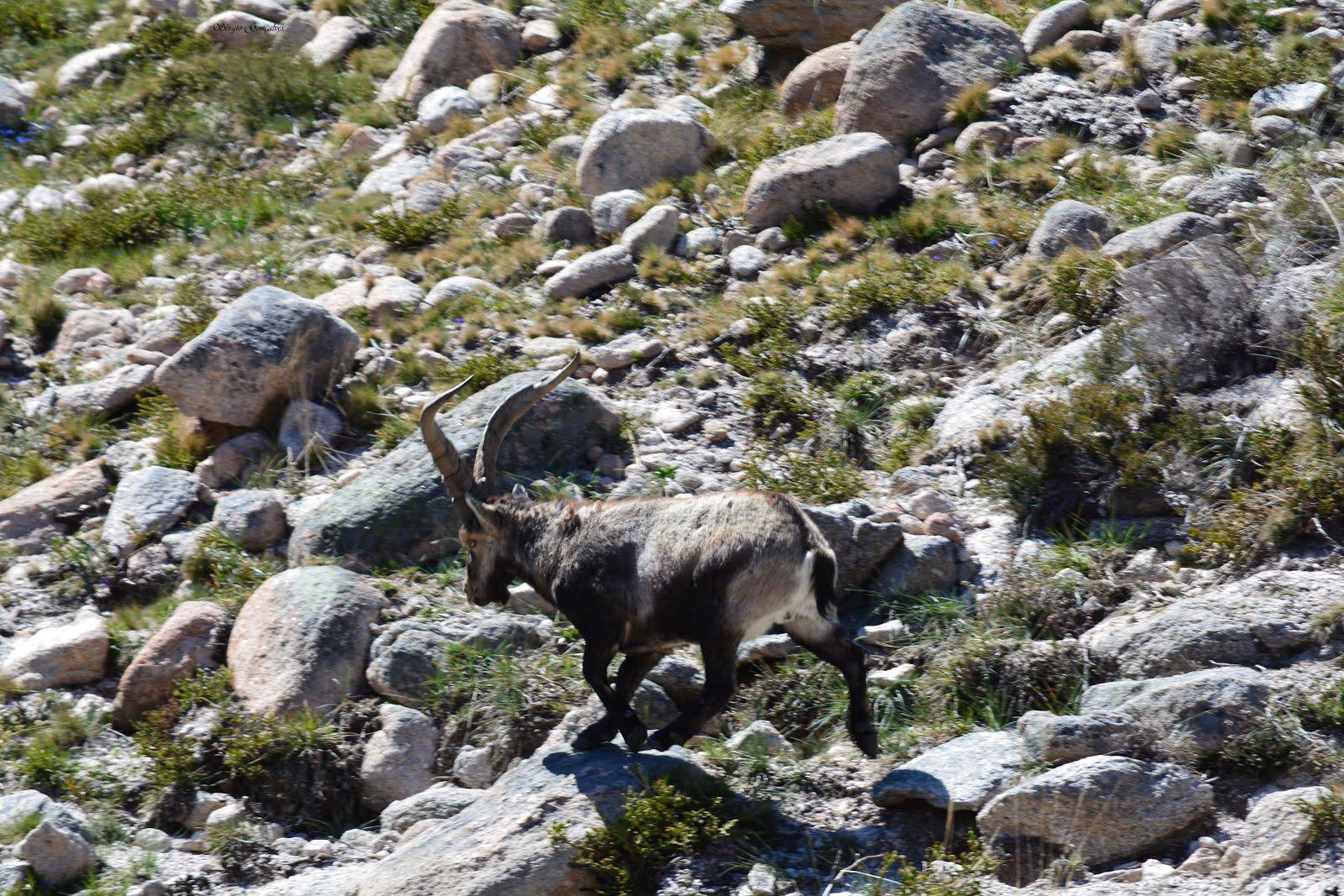 A Capra pyrenaica (nomes comuns: íbex-ibérico ou cabra-montês)