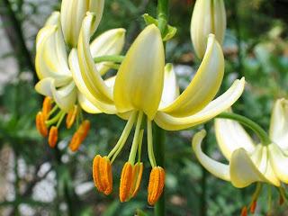 lily martagon Sviesta Sapnis