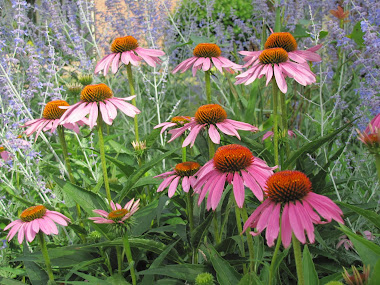 Coneflowers and Russian Sage