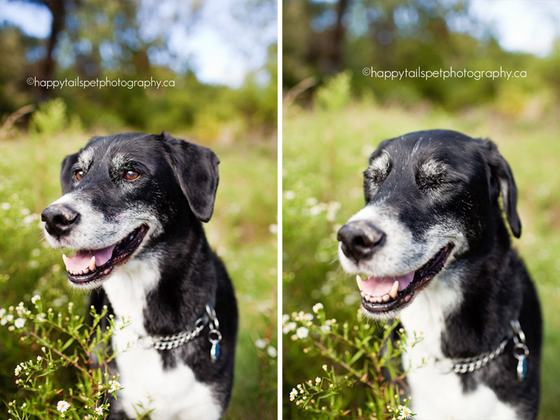 Ontario pet photography session with smiling collie/lab mix senior dog in the long grass in Burlington park.