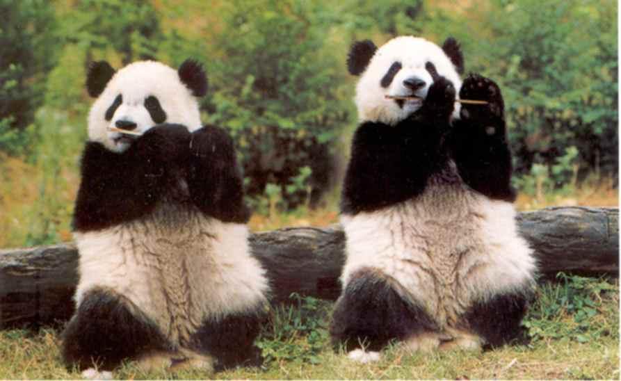 Funny Giant Panda