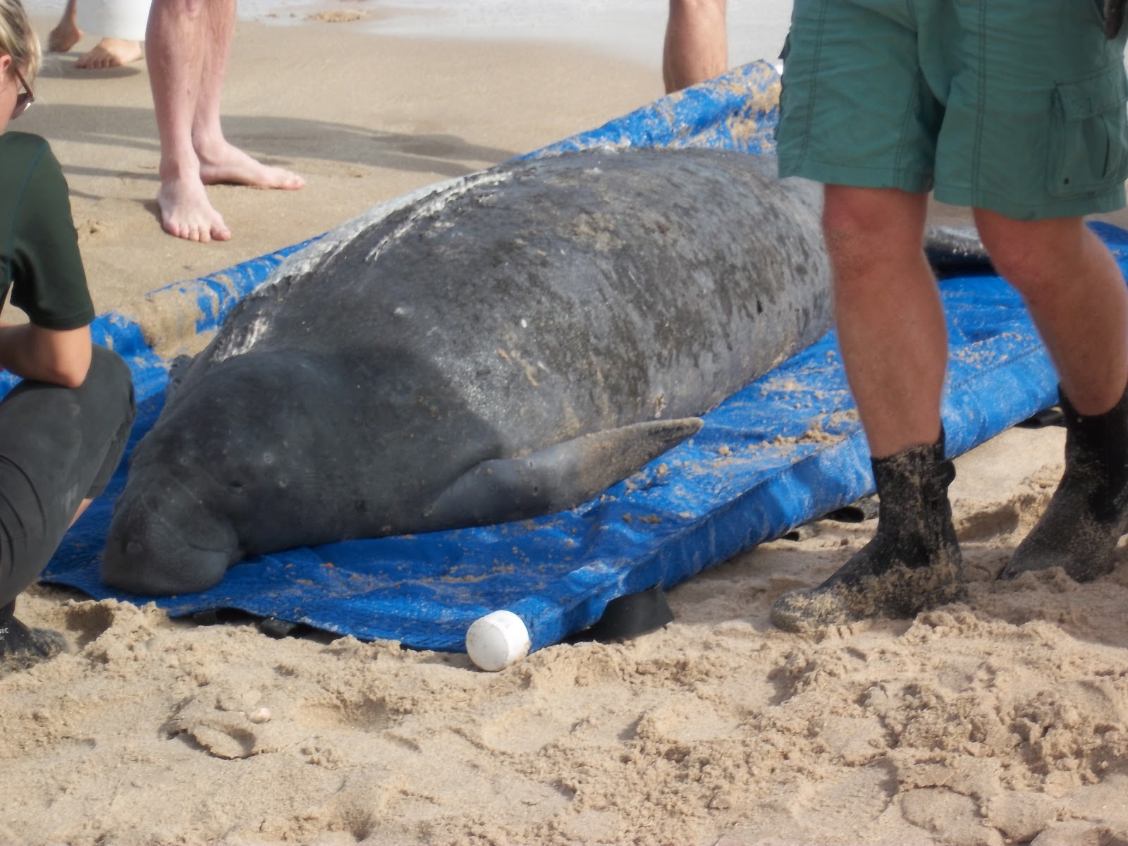 ty and ida on the road the treasure coast it took a team of florida dnr whale rescue manatee rescue and u s fish wildlife to drag the animal up the beach out of the rising tide plus keeping