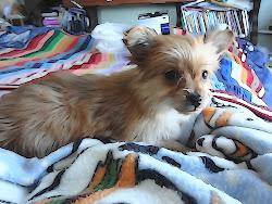 Chihuahua-Yorkie puppy