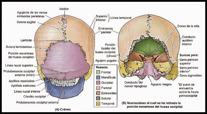 Morfofisiologia - Osteologia