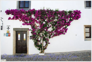Beautiful Bougainvillea Vines