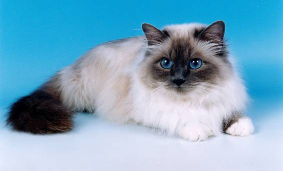 Puffy Round Cat Breed