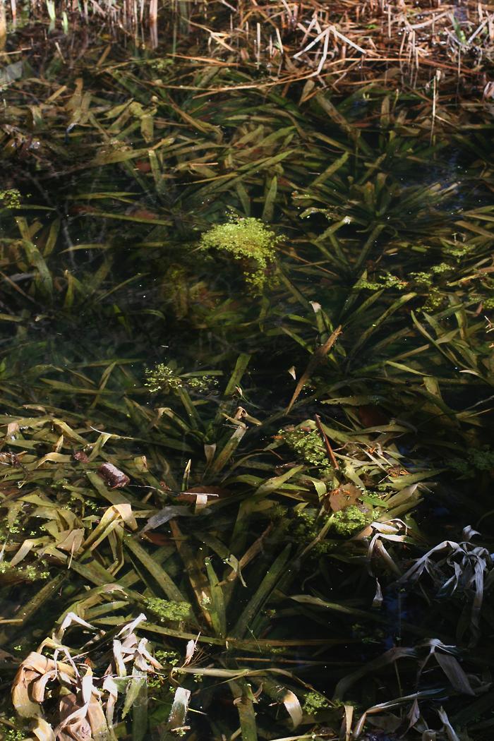 Wildwuchs unter aufsicht klare sicht im teich for Larven im teich