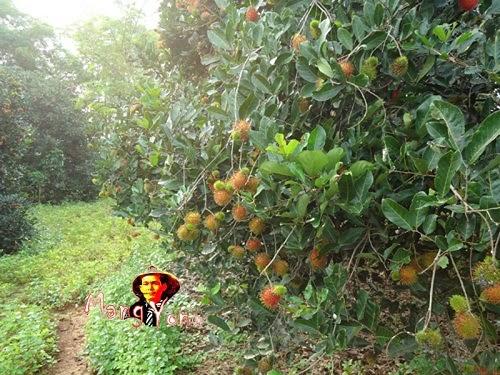 Pohon Rambutan Cangkok - Panen Raya Buah Rambutan Di Kabupaten Subang, Jawa Barat Indonesia.