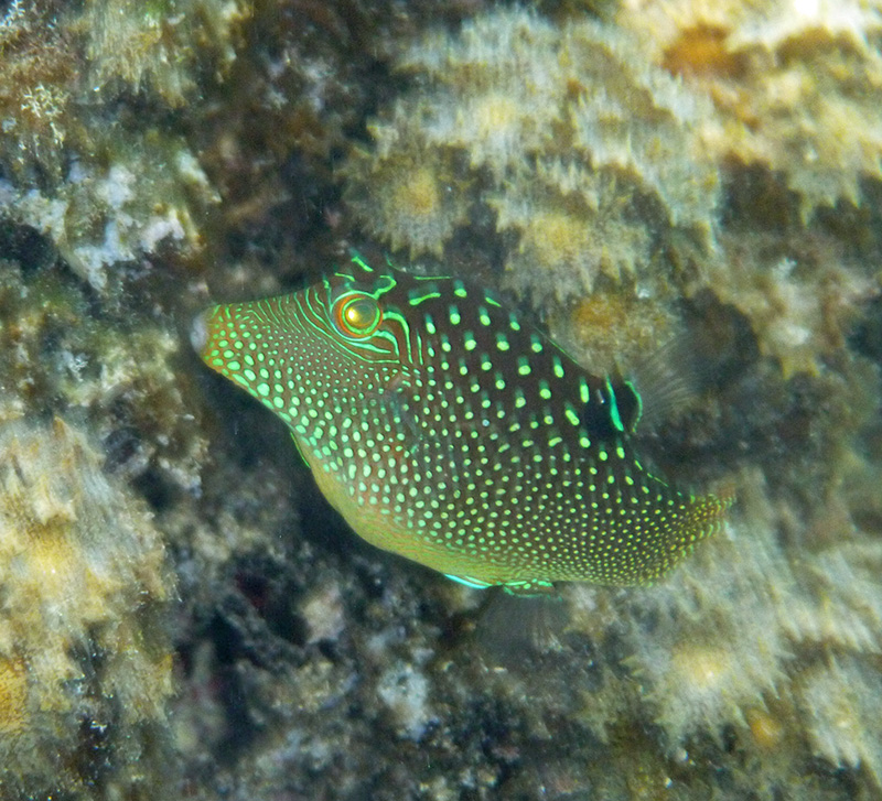 The adventures of s v silhouette three anchorages in moorea for Types of puffer fish