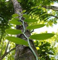 morfologi tanaman vanili