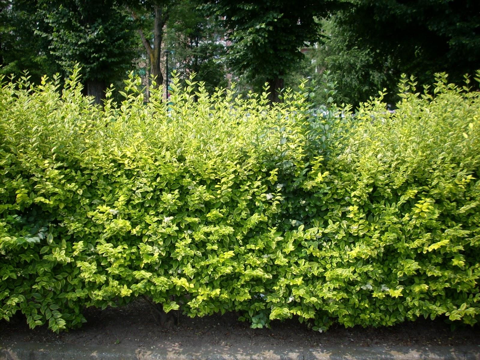 Lettino giardino ikea con siepe da giardino sempreverdi for Siepe per giardino