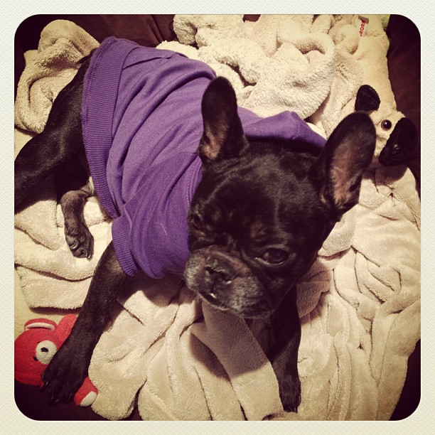 purple dog sweatshirt, ravens superbowl