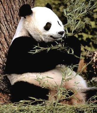Oso Panda gigante recostado en un arbol para comer sus hojas